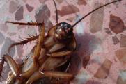 В торговом центре Сургута жители обнаружили таракана