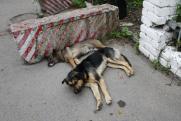 «Не делайте бродяжкам кормушек!» Как в Красноярске решают проблему бездомных псов