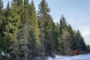 В Республике Алтай черного лесоруба поймали с поличным за вырубкой новогодних елей