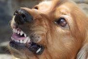 В поселке Боровский агрессивная собака оскальпировала двухлетнюю малышку