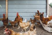 «Огромные поля уничтожены». Проверки птицефабрик «Рависа» зафиксировали сотни нарушений законодательства