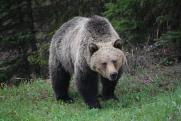 На жителя Ярославля в центре города напал медведь