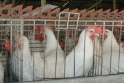 Поставщик корма потребовал семь миллионов с птицефабрики «Среднеуральская»