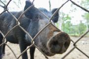 В Приморье ввели карантин из-за вспышки африканской чумы свиней