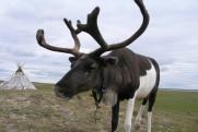 Таймырские ученые при поддержке «Роснефти» начали изучение дикого северного оленя