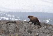 В Югре хозяин тайги порвал человека за пойманного медвежонка