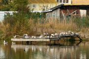 Жители поселков возле единственного полигона Екатеринбурга страдают от нашествия птиц