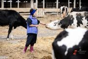 ДТП на калужской дороге произошло из-за коровы «Мираторга»