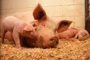 В Брянской области поднялся бунт против свинарников «Мираторга»