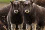 Ямальских телят овцебыка везут на Таймыр