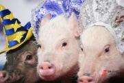 У Пермского свинокомплекса за долги арестовали два земельных участка
