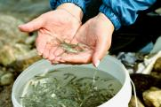 Ставка на муксуна: удастся ли вернуть рыбу на Ямал