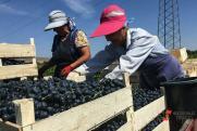 Что ждет виноделов в 2021 году: юг России – монополист