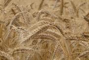 Эксперты раскритиковали новую пошлину на экспорт пшеницы: «Хлеб станет еще дороже»