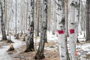 В Красноярске экс-глава лесничества спилил лес на несколько миллионов