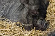 В Хабаровском крае обнаружили кладбище свиней
