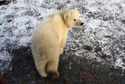 «Роснефть» поддержала новую экспедицию по изучению белого медведя