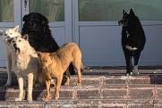 В ямальском поселке бездомные псы «охраняют» школу от детей