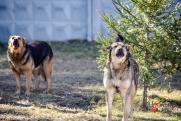 В российском регионе  нашли животное с бруцеллезом