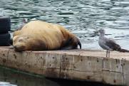 Гибель каспийских тюленей в рыболовных тралах: подробности