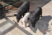 Какую угрозу несут курганцам свиньи и курицы. Расследование «ФедералПресс»