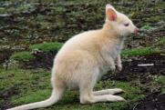 В Казани родился редкий кенгуренок-альбинос