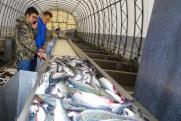 Дальневосточное золото: как Россия теряет лосось