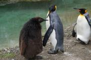 В американском зоопарке пожилому пингвину с артритом сшили ботинки