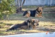 В Югре свора собак  искусала женщину, спасавшую от них ребенка