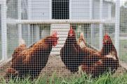 Россиянам запретят разводить домашних птиц на участках