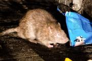 «Тиф, чума, бешенство»: кто разводит крыс в Миассе