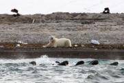 «Роснефть» помогает сохранить популяции моржей и белых медведей