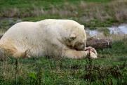 Потерявшегося в Диксоне белого медвежонка вернут в дикую природу