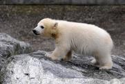 На севере Красноярского края белый медведь вышел к людям