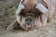На Среднем Урале ввели режим ЧС из-за больных свиней
