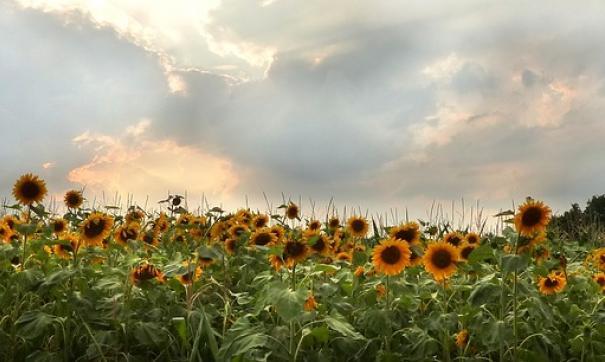 По словам фермера, неизвестные собрали с его поля урожай подсолнечника