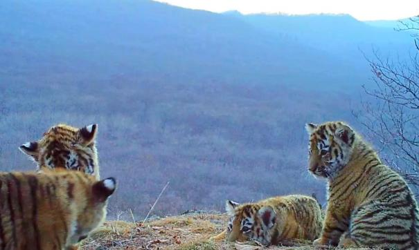 Возраст тигрят примерно три – четыре месяца