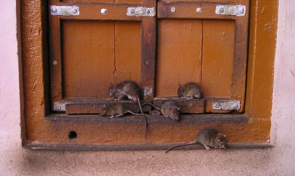 На петербургском хлебозаводе надзорные органы нашли тараканов и крыс