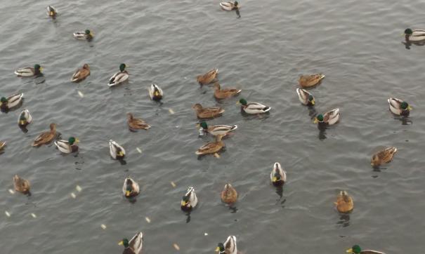 У будущей набережной Миасса зимуют перелетные птицы. Им грозит голод