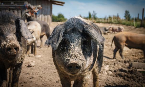 В Приморье вспышка ящура уничтожила поголовье скота на свинокомплексе