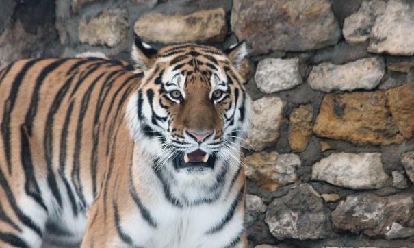 Хабаровский край просит оставить тигра Амура в Приморье