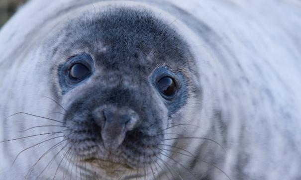Из Приморья в Китай на «содержание» вывезут 50 тюленей