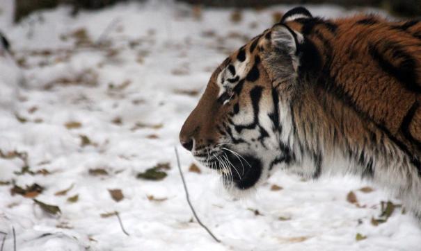 Приморье скоро потеряет знаменитого дружбой с козлом тигра Амура