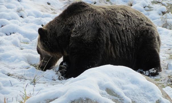 Убийство в берлоге медведя, вызвало широкий общественный резонанс
