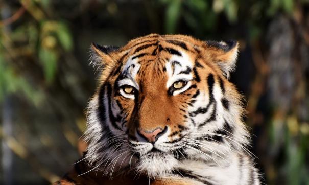 Хабаровский край принял решение передать тигра Амура Приморью