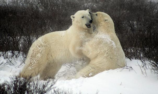 Из-за агрессии белых медведей группа Росприроднадзора полетит на архипелаг Новая Земля