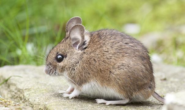 Нейросеть может классифицировать звуки, которые издают грызуны