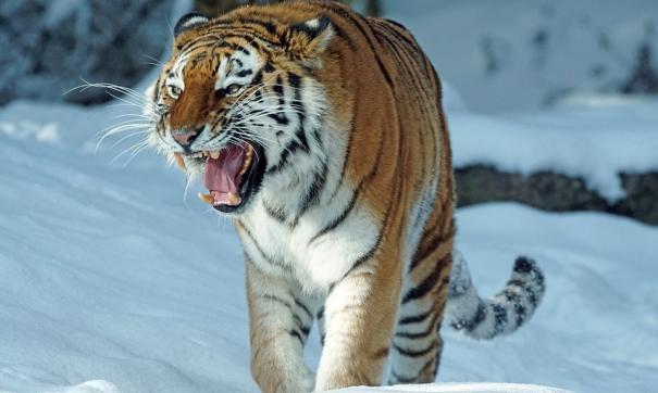 Вслед за белыми медведями к людям могут выйти олени и тигры
