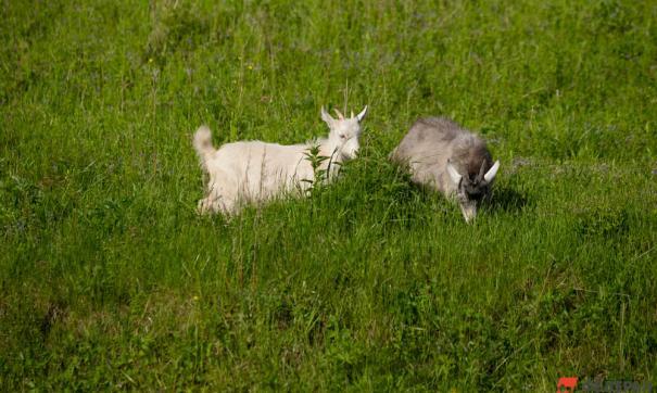 Господдержка козоводства и овцеводства способствует развитию фермерства и созданию новых рабочих мест