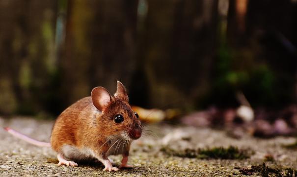 Оказалось, что мыши умеют считать